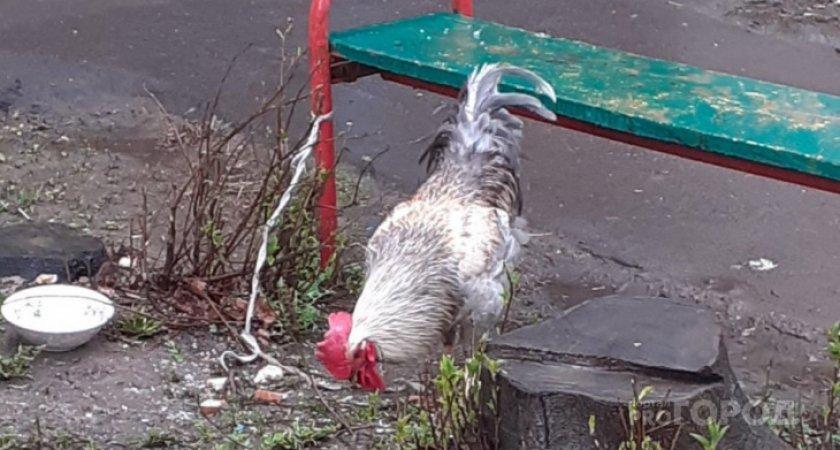 Чепчанам запретили содержать на дачных участках домашнюю птицу