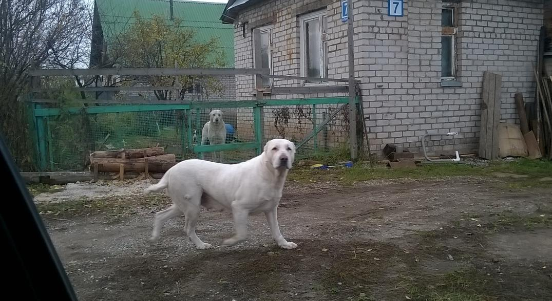 В Кирово-Чепецке осудят хозяина алабаев, от нападения которых скончалась женщина