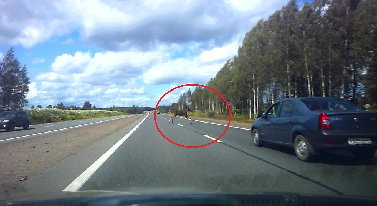 Видео: в Чепецком район лось выбежал на дорогу прямо перед машинами
