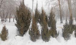 В Кирово-Чепецке начали воровать елки