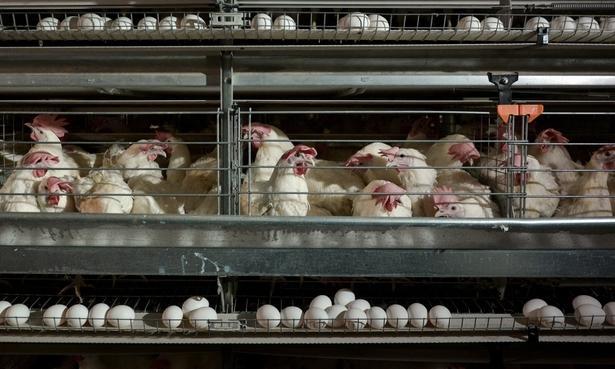 Чепецкую птицефабрику продали нижегородцам