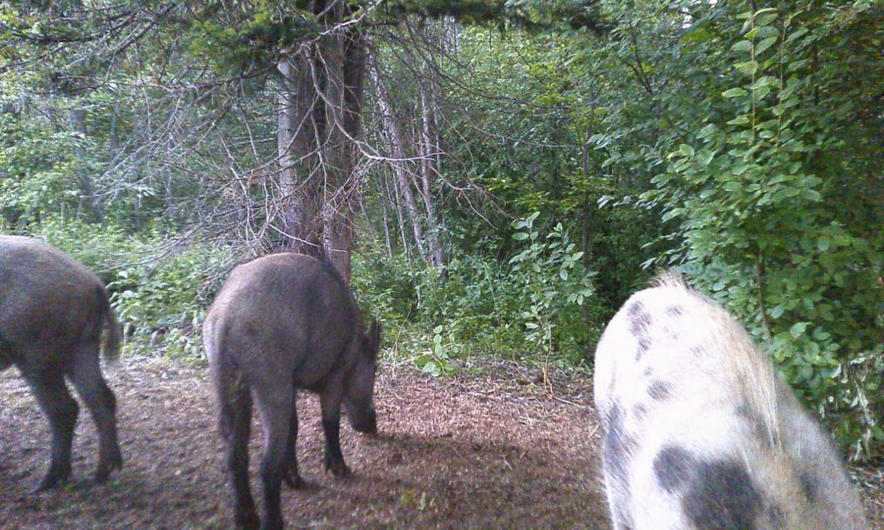 В лесах Кирово-Чепецкого района заметили кабана-альбиноса