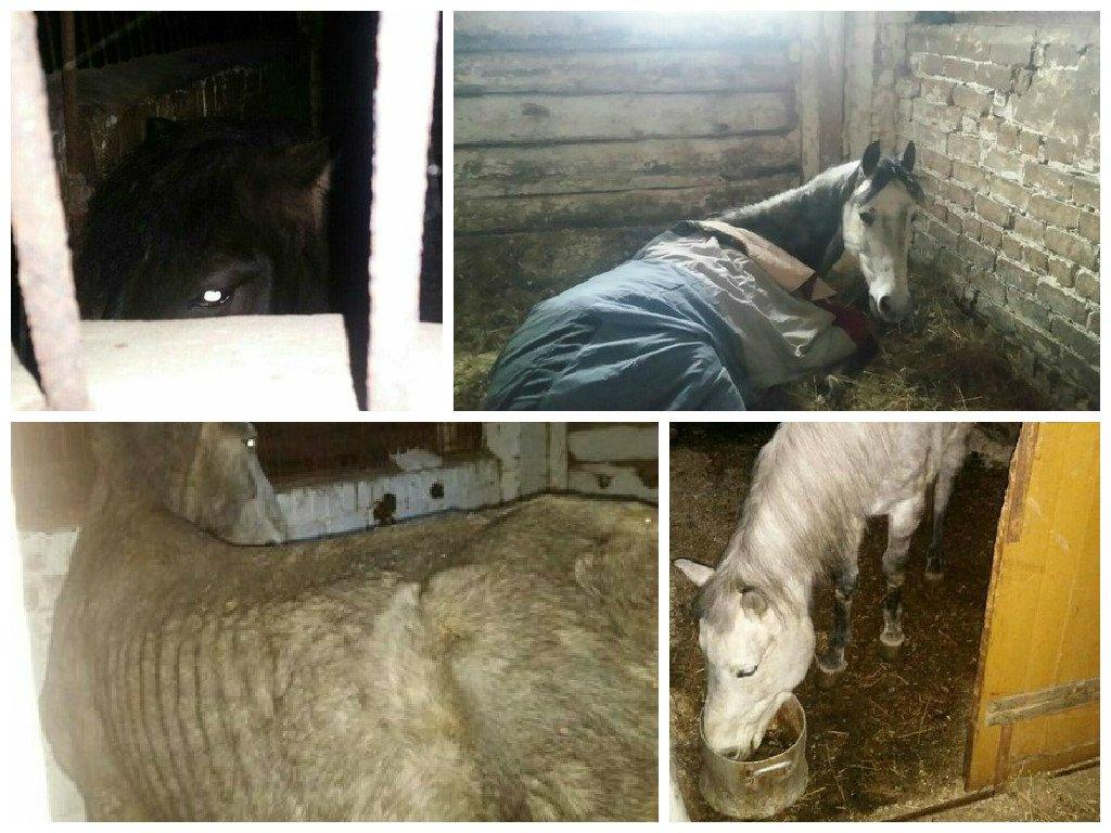 Чепчане могут помочь истощенным лошадям, которых нашли на кировской конюшне