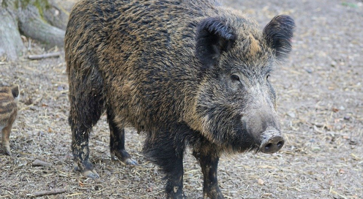 В Кировской области ввели режим повышенной готовности из-за чумы свиней