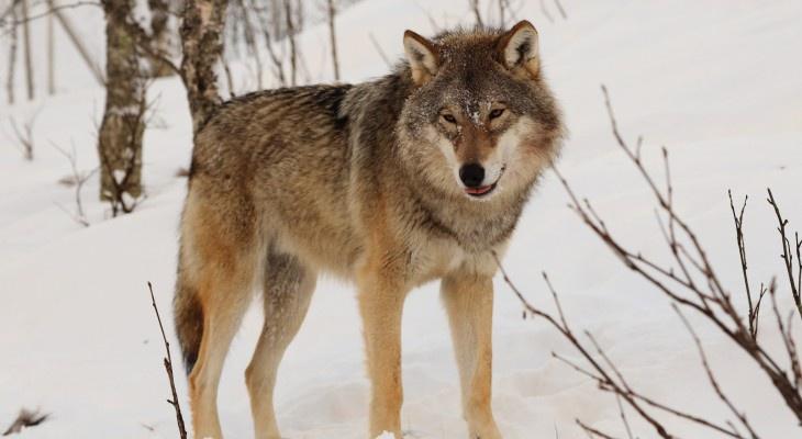 За год в Кировской области отловили 213 волков: какой из районов лидирует?