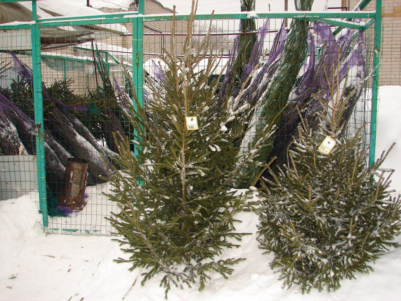 В Чепецке началась продажа елок к Новому году