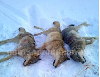 В Кировской области охотникам удалось истребить стаю волков
