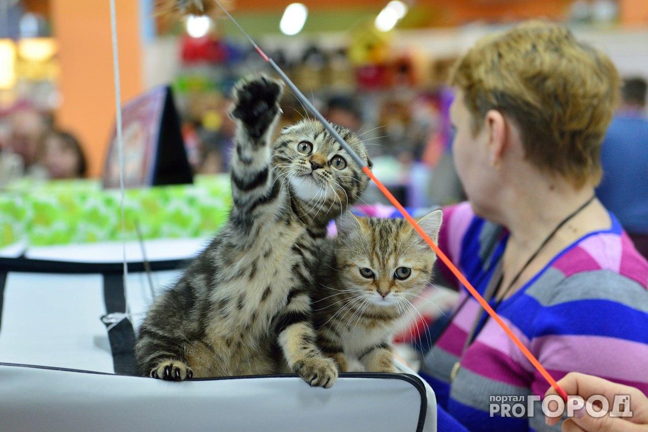 В Кирово-Чепецке пройдет выставка кошек