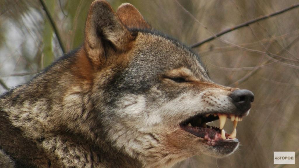 В Кировской области охотники убили более 200 волков