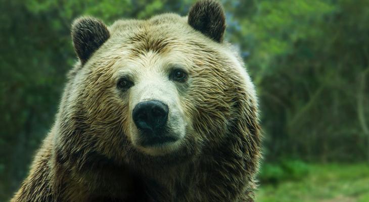 В Омутнинском районе отстрелят медведя, который загрыз 29-летнего грибника