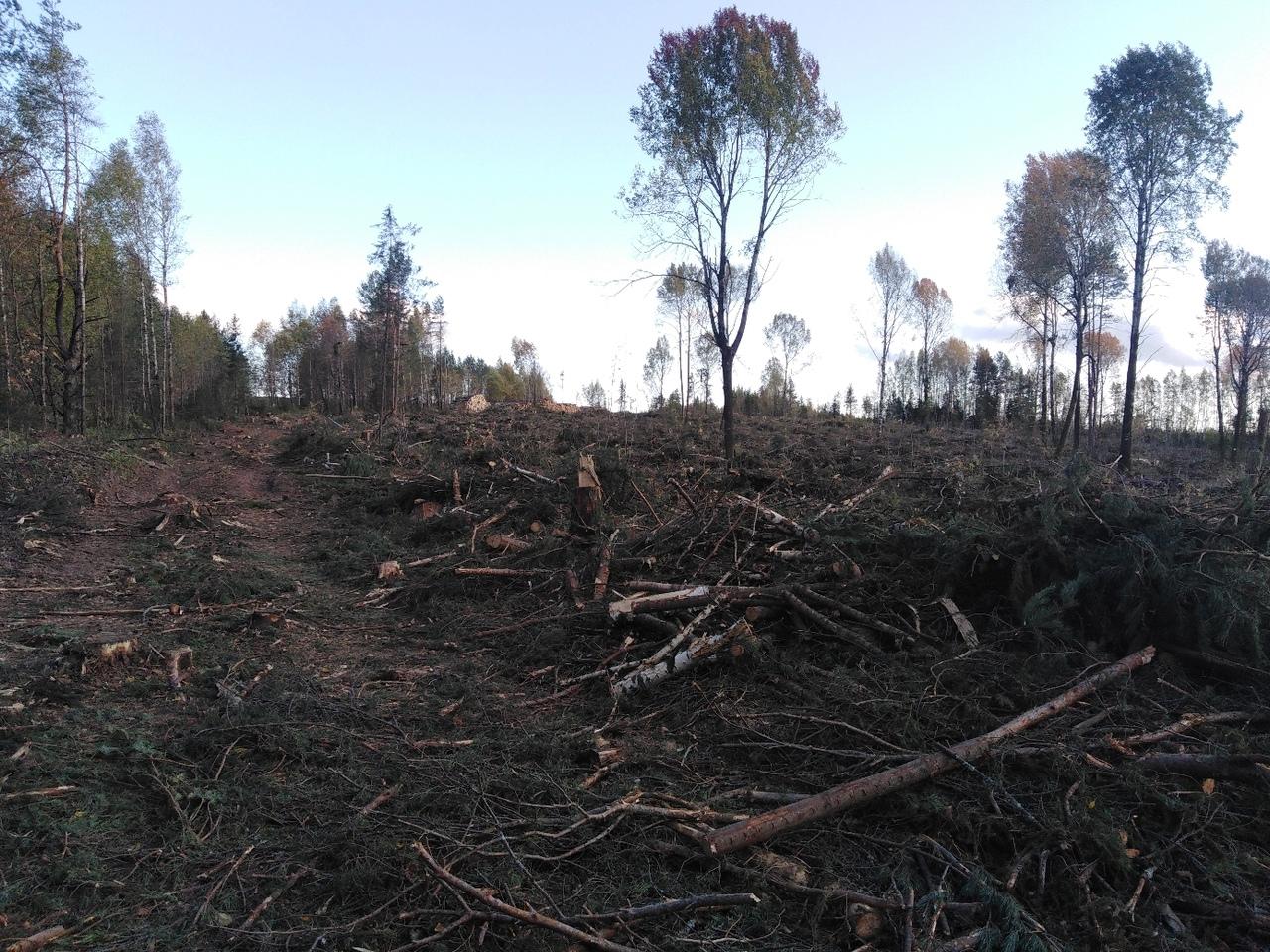 «До слез жаль вырубленный лес!»: жители Чепецкого района об исчезнувших деревьях