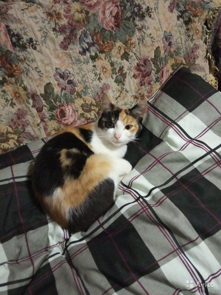 В Кирове продают кошку-удачу за миллион рублей
