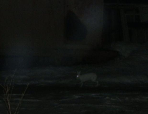 В Чепецке у жилых домов заметили зайца