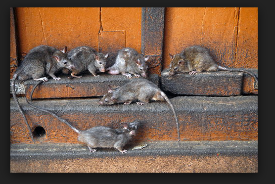 В Кировской области крыса покусала женщину