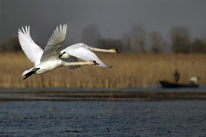 Видео: в Кировскую область прилетели лебеди