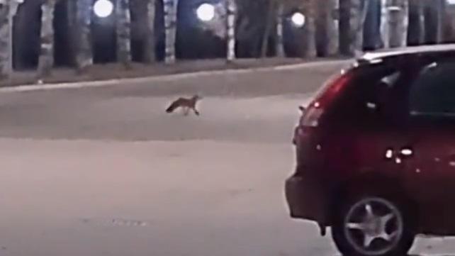 В Кирово-Чепецке на набережную выбежала лиса